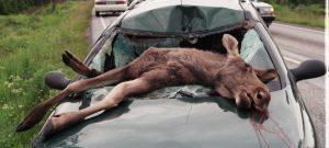 Nuevo requisito para conductores en accidentes con animales silvestres