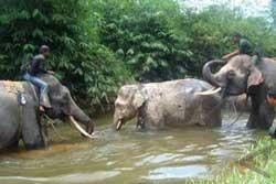 Elefantes en South Aceh District.