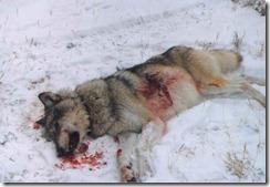 12.000 cazadores matarán 27 lobos