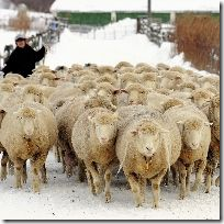 A walk in the snow sheep to ease prenatal exercise