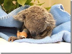 koala-420x0