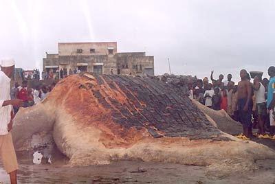 Monstruo marino peludo infernal echado en tierra