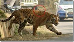 Escapan 2 tigres del Zoo de Guwahati