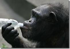 chimp zhora