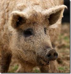 cerdo33