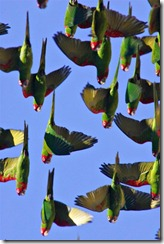 parrots_in_flight