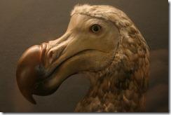El dodo