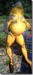 Goliath_frog_5