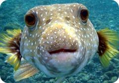 Puffer Fish (Fugu) – Japon