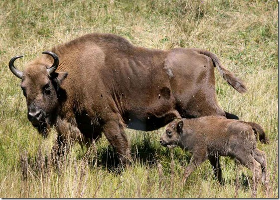bisonte_europeo