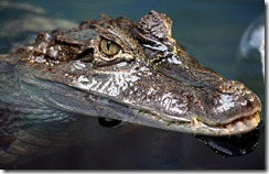 crocodile-face