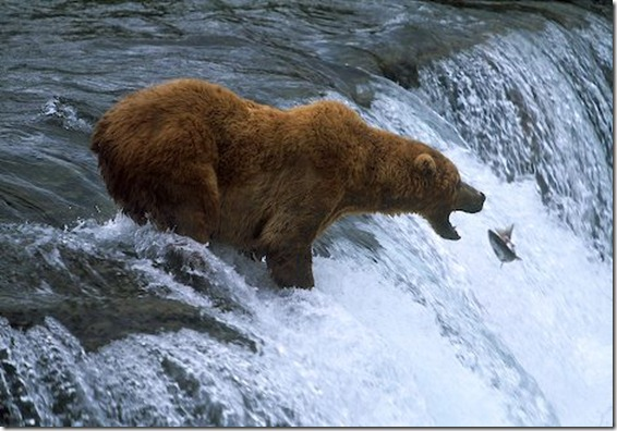 brooks-falls-brown-bear-food_8310