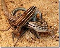 lesbian lizards