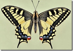 Papilio_machaon_0