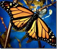 mariposa-mon
