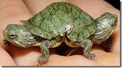 two-headed-turtlex-large