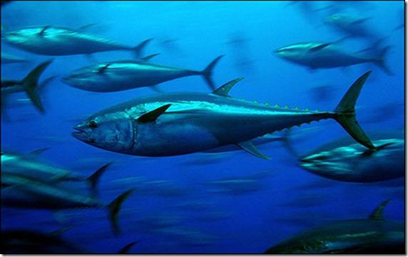 blue-fin-tuna1