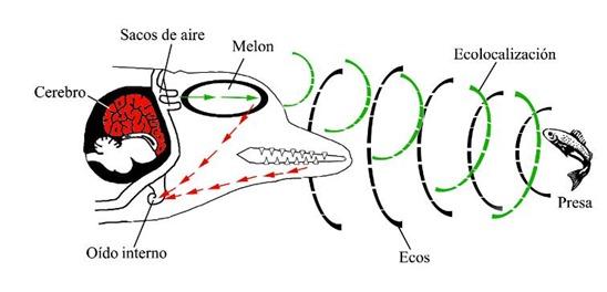 ecolocalizacion1