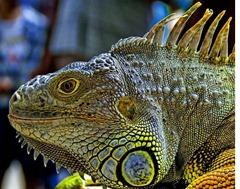 iguana-