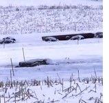 200 vacas muertas en Wisconsin