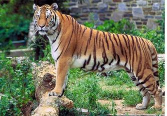 Panthera_tigris_tigris1