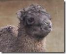 camello1--