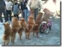doggy conga line