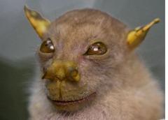 tube_nosed_fruit_bat