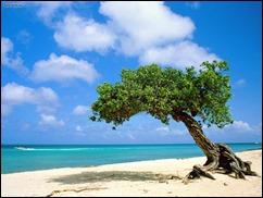 Dividivi_Tree_Aruba