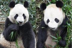 p Ueno Zoo macho (Bi Li) Ri Ri  hembra (Xian Nu) Shin Shin