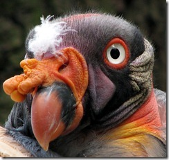 Sarcoramphus-papa-king-vulture