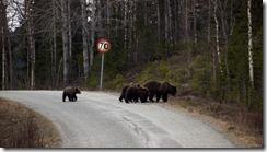 manada osos jämtland