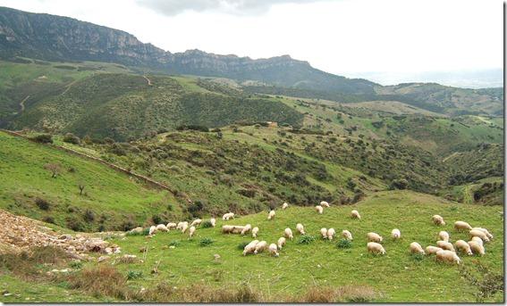 ovejas cerdeña