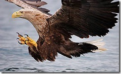 sea_eagle_thumb