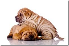 shar-pei-puppies_