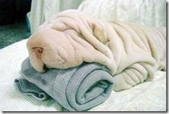 sharpei_towel-1_