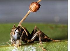 Ophiocordyceps_unilateralis
