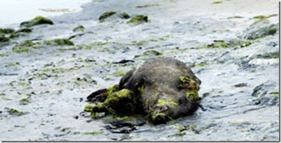 Dead-boar-on-Brittany-coast