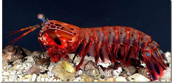 OdontodactylusScyllarus2