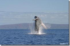 ballenas-saltan