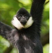 rare-gibbon-species-found-vietnam--