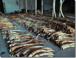 ivory smuggling china