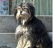 perro esperando en pekín