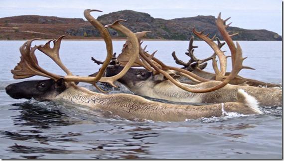 El espectacular declive del mayor rebaño de renos del mundo