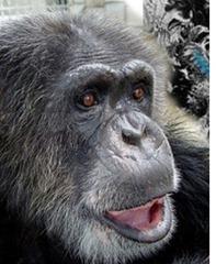 Fallece 'Chita', la chimpancé de Tarzán de los Monos
