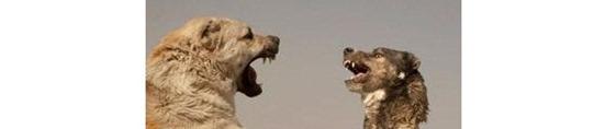 peleas perros afganistán
