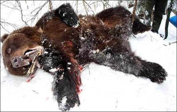 Oso en hibernación despertado por perro ataca cazador
