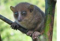 Gerp's mouse lemur (Microcebus gerpi)