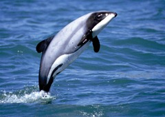 Delfines de Maui