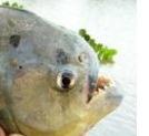 piranha palometa